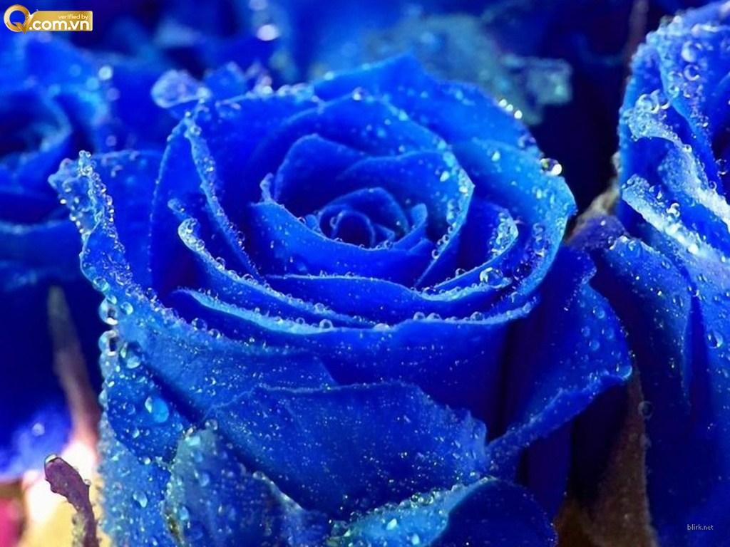 y nghia hoa hong xanh duong ink